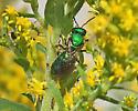 Sweat or Metallic Bee? - Augochlora pura