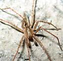 Elongated spider - Anyphaena californica - male