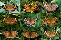 Pearl Crescent Variation - Phyciodes tharos - male - female