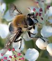 Bee mimic (Mallota) - Mallota albipilis - female