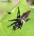 Robberfly - Laphria