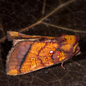 Unknown  Moth - Papaipema leucostigma