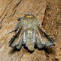 Dysodia granulata - Hodges #6079 - Dysodia granulata