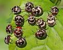 Designer Beetles - Orsilochides