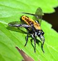 Laphria sericea/aktis - Laphria