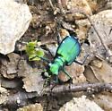 Metallic green tiger beetle - Cicindela sexguttata