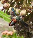 Gorgeous Visitor to my Garden - Melittia cucurbitae
