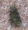 Peridea angulosa