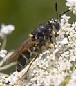fly or wasp/hornet mimic with wide body - Stratiomys badia - female