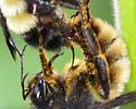 Mating Bumble Bees - Bombus pensylvanicus