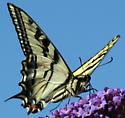 Tiger Swallowtail, Santa Cruz, CA - Papilio rutulus - male