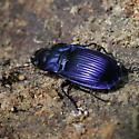 Purple and Black Carabid - Dicaelus purpuratus