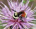 Arizona bumble bee on thistles - Bombus huntii - female