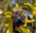 Bumble Bee? - Centris