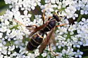 Northern Paper Wasp? Male, female or whatever? - Polistes fuscatus - male