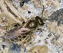 Highlands Bee - Halictus confusus