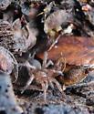 Dipluridae? - Euagrus chisoseus