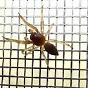 Spider ID Request - Trachelas