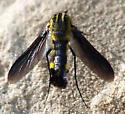 Need an id please - Lepidophora lepidocera