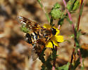 Orange County Bee Fly Archives - Thyridanthrax nugator