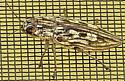 Chalcophora virginiensis - Sculptured Pine Borer - Chalcophora virginiensis