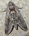 Five-spotted Hawk Moth - Manduca quinquemaculatus