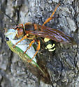 2 Bugs together- What are they? - Sphecius speciosus - female