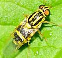 Soldier Flies Oxycera variegata - Oxycera variegata - female
