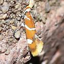 Moth 09.08.29 (2) - Promalactis suzukiella