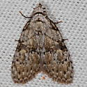 Unknown Moth - Meganola