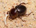 Small Tenebrionid - Lariversius tibialis
