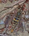 Delhi Sands Flower-loving Fly - Rhaphiomidas terminatus - female