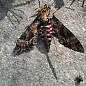 Large Moth with Pink Bands  - Agrius cingulata