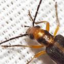 False Blister Beetle - Xanthochroa lateralis