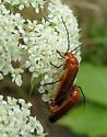 Common Red Soldier Beetles - Rhagonycha fulva - male - female