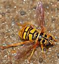 mondo syrphid? - Milesia virginiensis - female