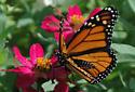Monarchs - Danaus plexippus - male