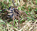 Which species of wolf spider is this? - Hogna antelucana - female