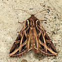 purple and brown Cutworm Moth - Dargida procinctus