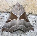 Plataea blanchardi - Plataea blanchardaria