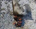 moth? - Hemileuca lucina