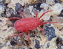 small red mite - Balaustium