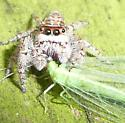 Jumping Spider with Lacewing - Chrysoperla