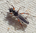 Male Bibio sp? - Bibio xanthopus - male