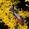A blood bee (Sphecodes)? - Sphecodes