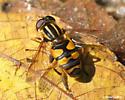 Helophilus sp. - Helophilus fasciatus