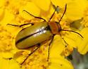 unk beetle - Nemognatha scutellaris