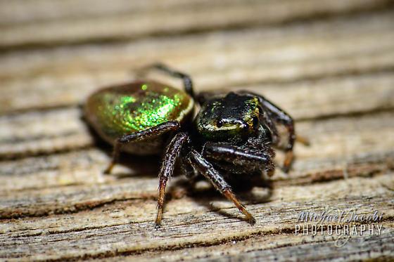 Salticidae sp. Jumping Spider - Cave Creek Canyon - Messua limbata