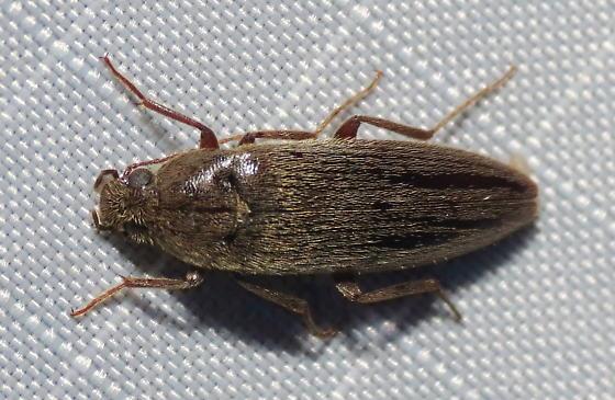 Elaterid - Synchroa punctata