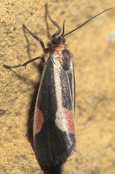 Packard's Lichen Moth - Cisthene packardii